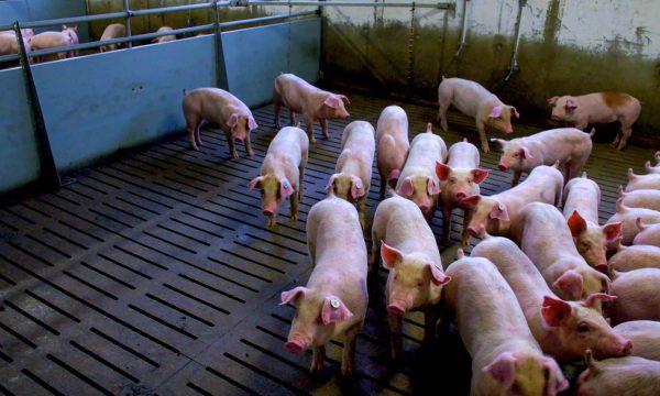 Dokumentation Arte Armes Schwein